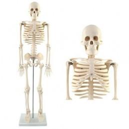 Skelet model (85cm)