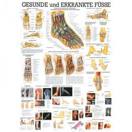 Anatomie poster voet