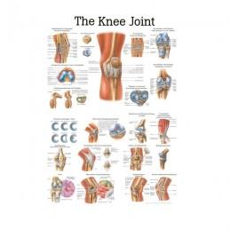 Anatomie poster kniegewricht