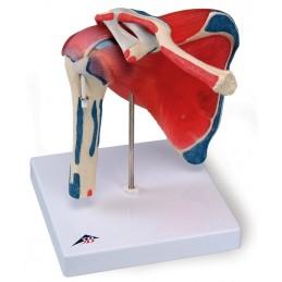 Anatomie model...