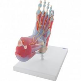 Anatomie model voet