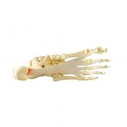 Voet/enkel Anatomie model -...